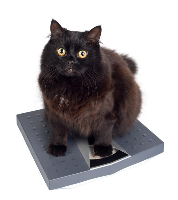 хранене при котки с наднормено тегло